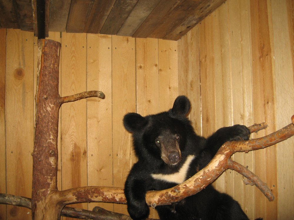 Гималайский медведь